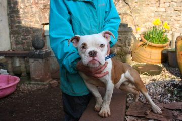 Jimmy, British Bulldog cross, Devon dog rescue and rehoming