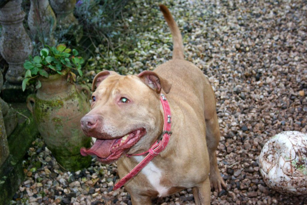 Sky, pit bull terrier type, rescue dogs devon