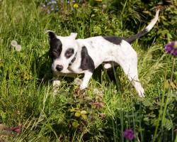 Neville-rescue-dog-adoption-rehoming-devon-staffordshire-bull-terrier-crossbreed