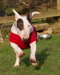 Devon Dog Rescue, rehoming dogs, devon, dog behaviour, Devon Dog Behaviour, Dog Rescue, dog rescue centre in Devon, dog adoption, rehabiliitation, rehome, rehoming, rescue dogs, dogs looking for a home, English Bull Terrier